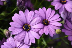 Beautiful Purple Flower royalty free stock photos
