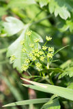 Flower of Italian parsley Stock Photography