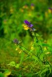 Flower Ivan da Marya. Flowers Ivan da Marya. a flower in the field.useful properties of Ivan da Marya, medical herb Stock Photos