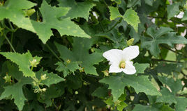 Flower Ivy Gourd or Coccinia grandis. White Flower Ivy Gourd or Coccinia grandis stock photos