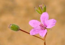 Flower of Izrael. Royalty Free Stock Photo