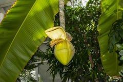 Flower of Japanese banana Musa Basjoo in bloom. Parks Royalty Free Stock Images