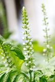 Flower of Japanese basil called Shiso Royalty Free Stock Images