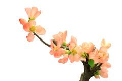 Flower of the Japanese quince Stock Images