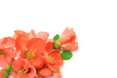 Flower of the Japanese quince Stock Image