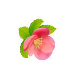 Flower of Japanese Quince (Chaenomeles japonica) isolated on whi Stock Photography