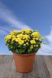 Flower in jardiniere. Stock Photos