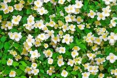 Flower jasmine background Royalty Free Stock Image