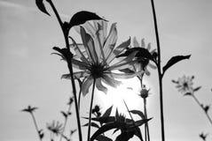 Flower of Jerusalem artichoke. Flowers of Jerusalem artichoke - Helianthus tuberosus, topinambour, earth apple, sunroot, sunchoke or sunflower native to eastern Stock Photo
