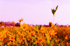 Flower, Jerusalem artichoke, Sunchoke Royalty Free Stock Photography