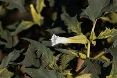 Flower of Jimsonweed Datura stramonium. Flower of a Jimsonweed bush Datura stramonium Stock Image
