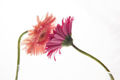 Flower kiss. Two gerbera reaching out to each other Royalty Free Stock Photography