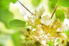 The Flower Of Kiwi Royalty Free Stock Photos