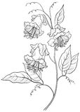 Flower kobe, contours Stock Image