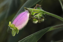 Flower of Kohleria digitaliflora Stock Image