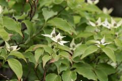 Flower of a Korean dogwood Cornus kousa Stock Images