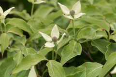 Flower of a Korean dogwood Cornus kousa Stock Photography