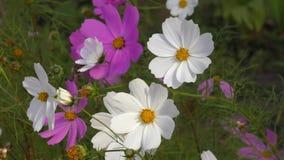 Flower Kosmeya or flower cosmos stock footage