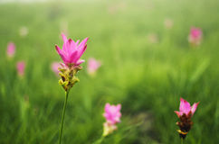 A Flower. Kra Jeaw flower (ดอกกระเจียว) in Pha Hin Ngam National Park, Chaiyaphum, Thailand Royalty Free Stock Image