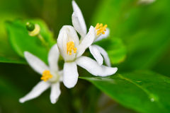Flower of Kumquat Royalty Free Stock Photography