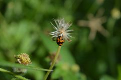 Flower and  lady bug. Lady bug and flower in small park Stock Photography