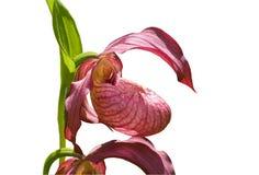 Flower of Lady's Slipper 42 Stock Image