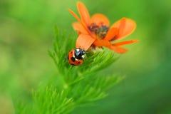 Flower & ladybug 2 Stock Photos