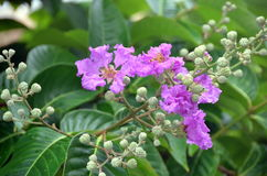 Flower Lagerstroemia speciosa, China, Hainan Island Stock Images