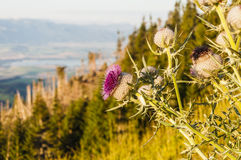 Flower of the lake in the background Royalty Free Stock Photos