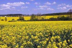Flower landscape, oilseed rape Stock Images