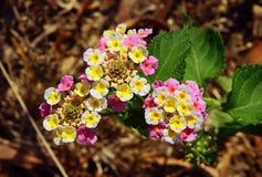 Flower Lantana camara Stock Photo