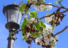 Flower with lantern. White flowers with a lantern in the background Stock Photos