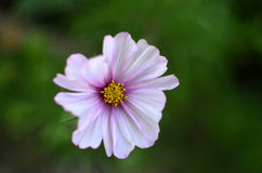 Flower Royalty Free Stock Images