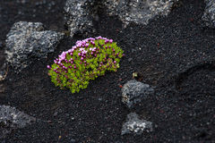 Flower in lava field Royalty Free Stock Images
