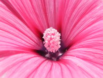 Flower Lavatera varieties shot closeup. Flower Lavatera varieties close-up shot in the summer Stock Photo