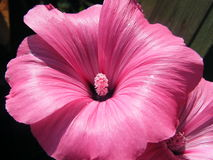 Flower Lavatera varieties shot closeup. Flower Lavatera varieties close-up shot in the summer Royalty Free Stock Images