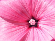 Flower Lavatera varieties shot closeup. Flower Lavatera varieties close-up shot in the summer Royalty Free Stock Photos