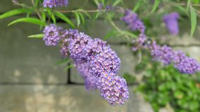 Flower Lavender Close-Up on a Beautifully Blurred Background. Camera Movement Along the Flower Gives You the Opportunity to See Al Royalty Free Stock Photography