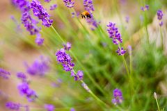 Flower, Lavender, English Lavender, Purple royalty free stock photo