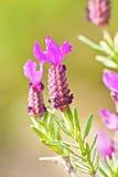 Lavender. Flower of lavender (Lavendula officinalis) from Jijel, Algeria royalty free stock photo