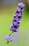 Flower of lavender in Provence France in summer Royalty Free Stock Image