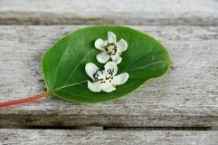 Flower and leaf of the baby kiwi berry (actinidia arguta). Fallen from the vine in the spring Stock Images