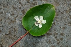 Flower and leaf of the baby kiwi berry (actinidia arguta). Fallen from the vine in the spring Stock Image