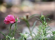 Flower in the garden my homke .flowers of portulaca oleracea Royalty Free Stock Photo