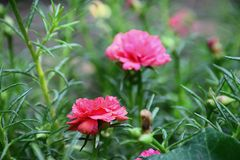 Flower in the garden my homke .flowers of portulaca oleracea Royalty Free Stock Photography