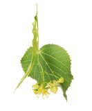 Flower and the leaf of linden tree Royalty Free Stock Photography