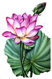 Flower and leaf pink Lotus. Watercolor Botanical illustration. Flower and leaf pink Lotus. Can be used for creating wedding invitations, greeting cards and Stock Photo