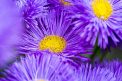 Flower leafs violet close up macro. Flower leafs close up macro stock photography