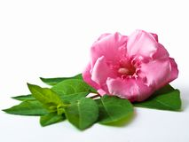 Flower with leaves. Pink flower with green leaves stock photo