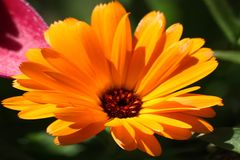 Flower with leaves Calendula royalty free stock image